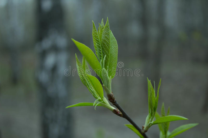 First leaves stock photo