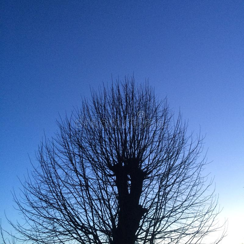 Tree silhouette at dawn on blue background stock photo