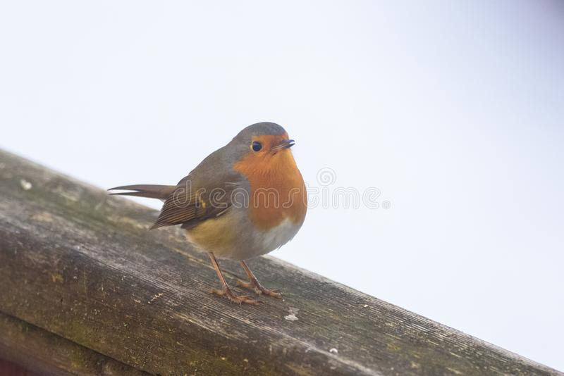 First migratory European robin Erithacus rubecula bird of this year in Riga, Latvia. stock image