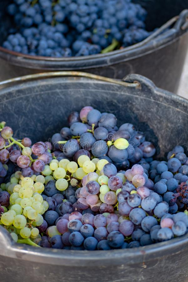 First new harvest of black wine grape in Provence, France, ready. For first pressing, traditional festival in France close up royalty free stock photo