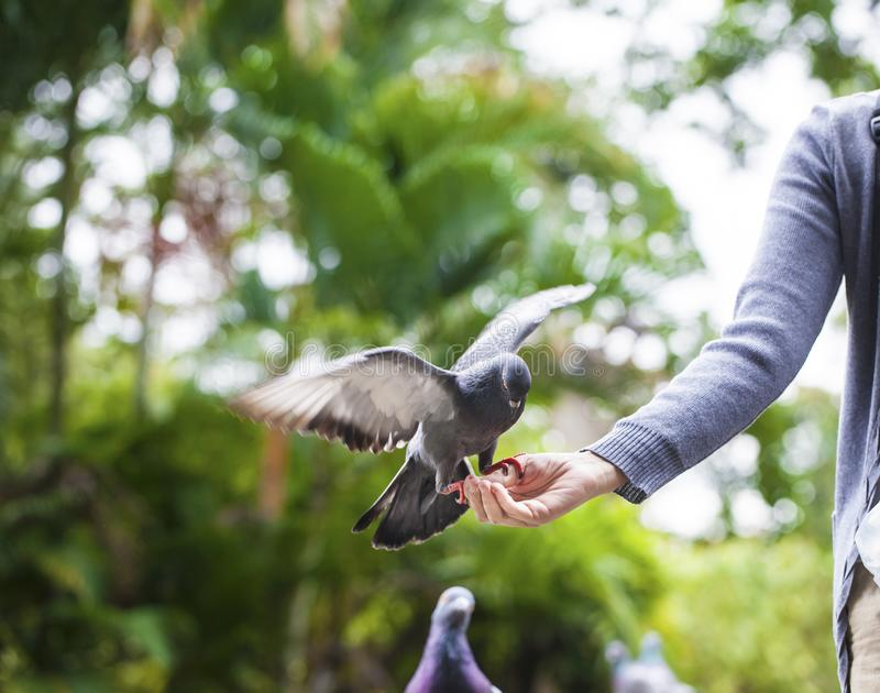 First-person view. doves eat seed from person hand stock photo