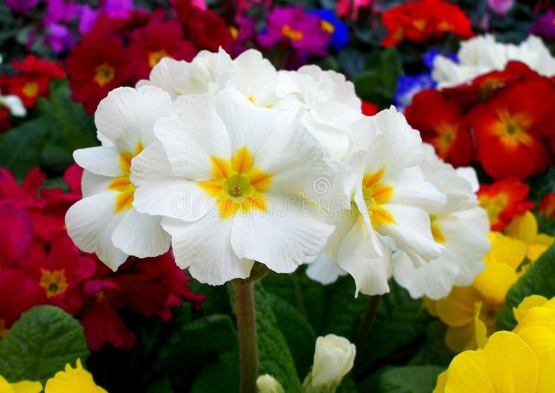 First primroses royalty free stock photography