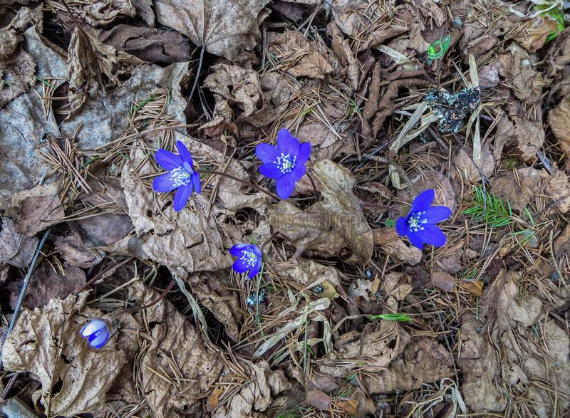 The first purple flowers of the Hepatika make their way through last year`s leaves in the forest, in early spring stock images