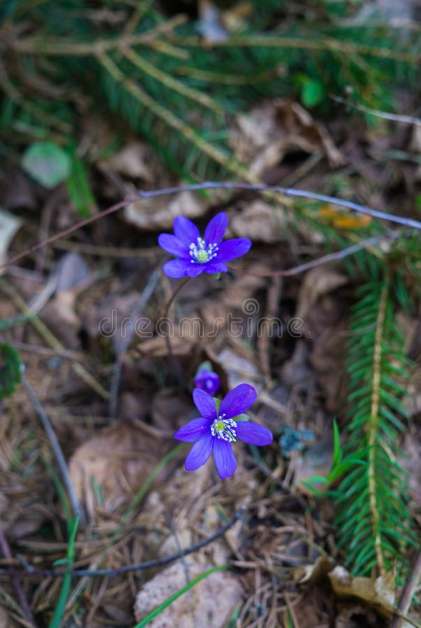 The first purple flowers of the Hepatika make their way through last year`s leaves in the forest, in early spring stock photo