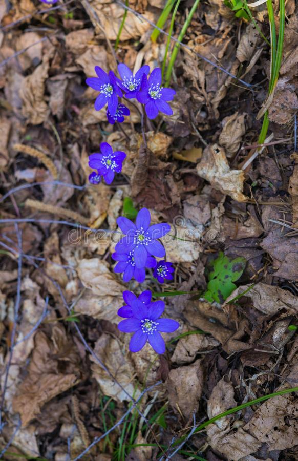 The first purple flowers of the Hepatika make their way through last year`s leaves in the forest, in early spring stock image