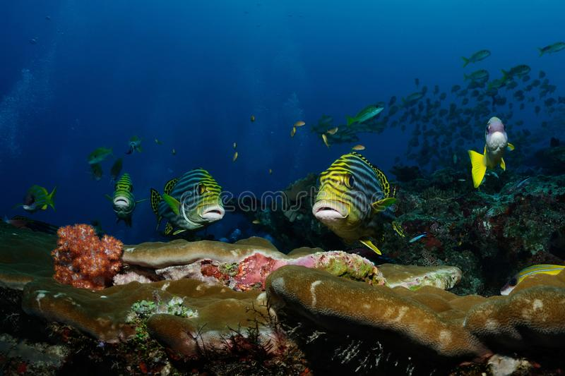 In the first row. Sweetlips yellowbanded sweetlips are swimming over the reef, North Male Atoll, Maldives stock photo