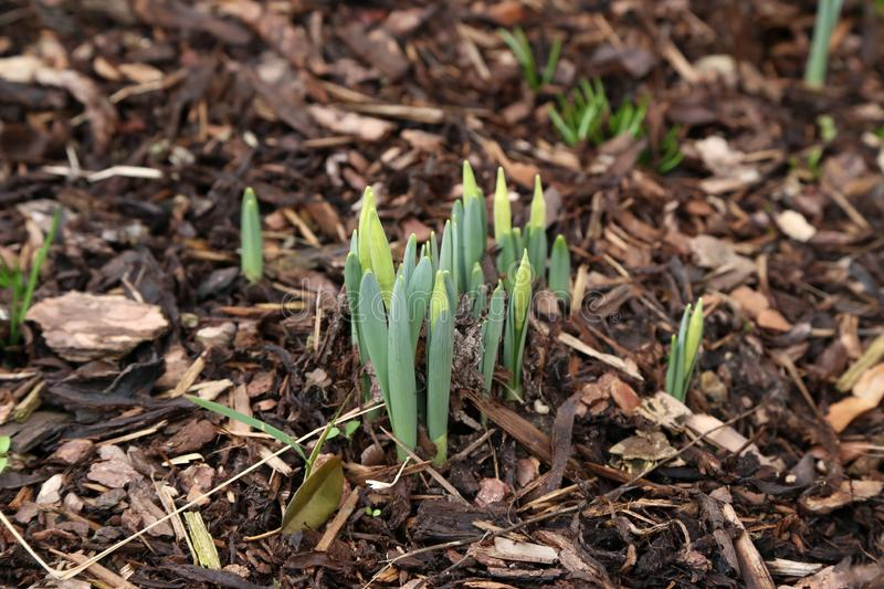 The first shoots of daffodils in the garden at home royalty free stock photos