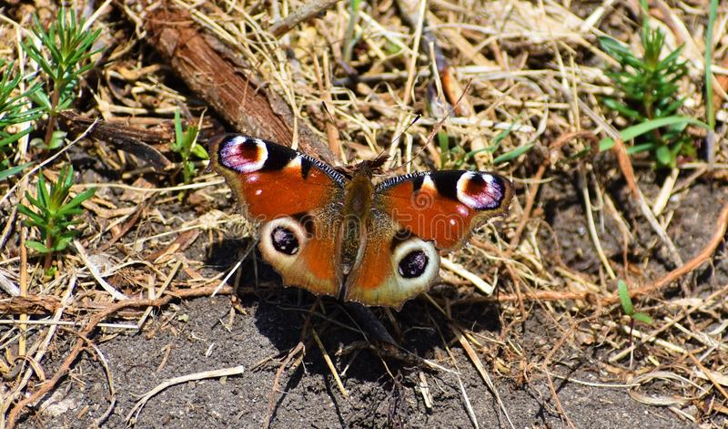 First sign  that spring is comming. Butterfly is heating and finding some to eat royalty free stock photo