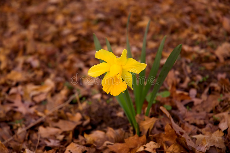Download First signs of spring stock photo. Image of plant, dafodil - 105900