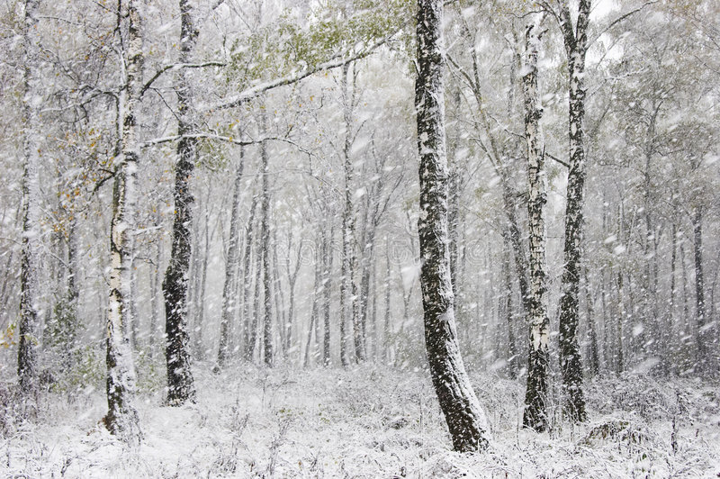 The first snow. In the forest royalty free stock photography