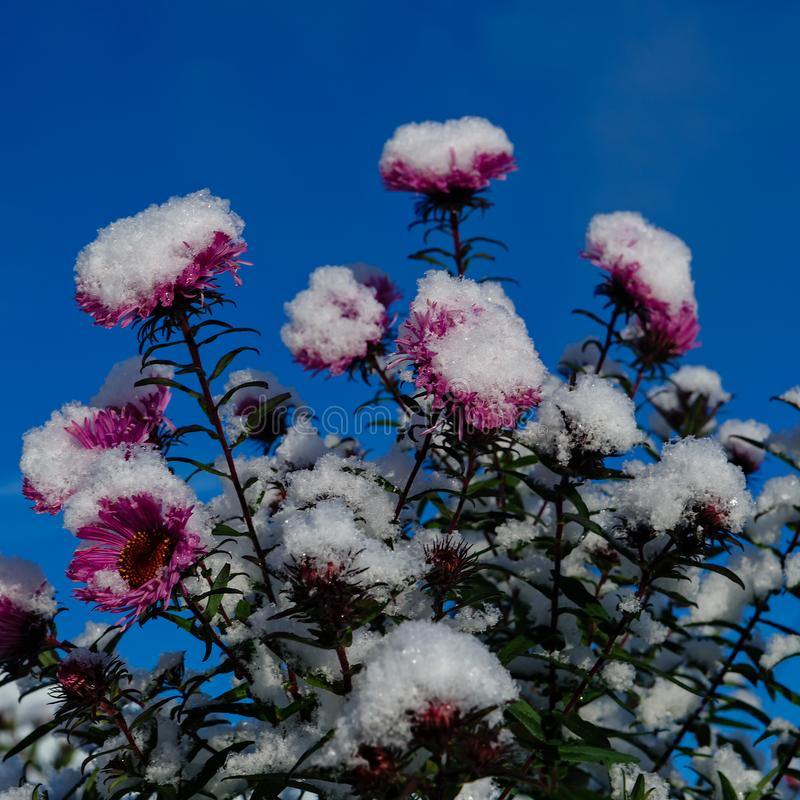 Free First Snow Covered Flowers Royalty Free Stock Photo - 102566635