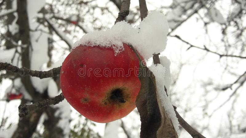 Red apples in the garden on a tree covered with snow against. Apple in winter with snow royalty free stock photos