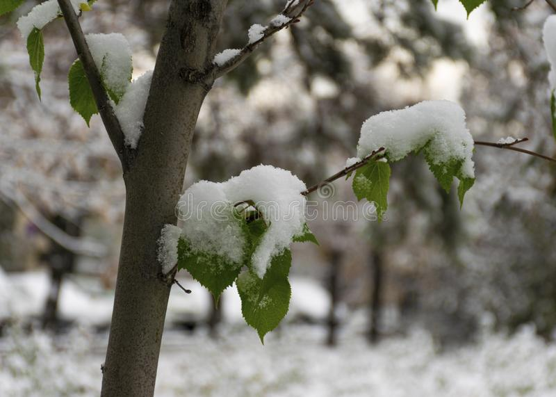 The first snow fell in the fall. Snow lies on green and yellow leaves. Snowfall and winter. Cloudy snowy weather. The first snow fell in the fall. Snow lies on royalty free stock photo