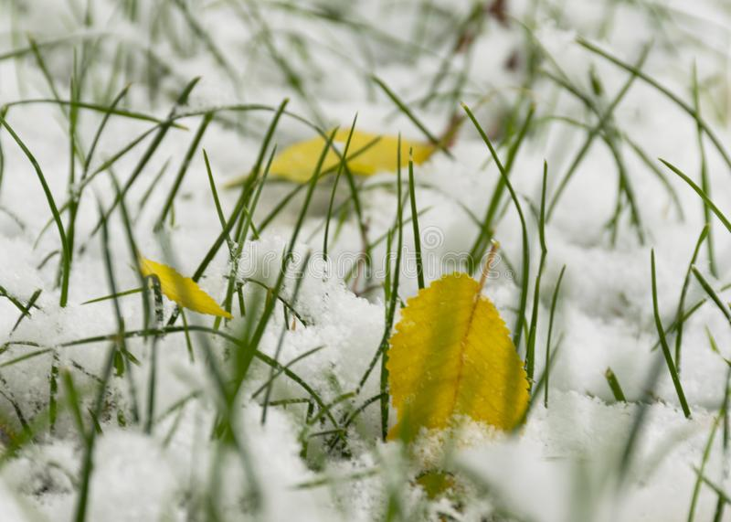 The first snow fell in the fall. Snow on the green grass with yellow leaves. Cloudy snowy weather. Background stock photography