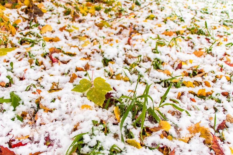 The first snow on the green grass and fallen red and yellow leaves, sunny autumn day royalty free stock photography