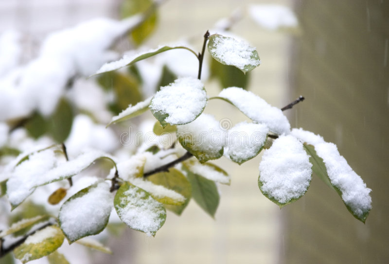 Download First Snow On Green Leaves Royalty Free Stock Photography - Image: 319827