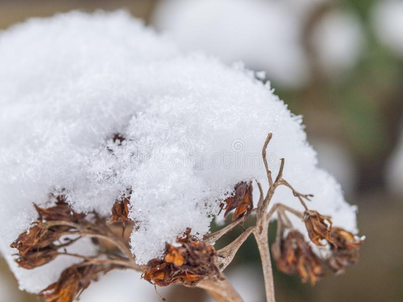 The first snow lies on a dried flower branch stock photo