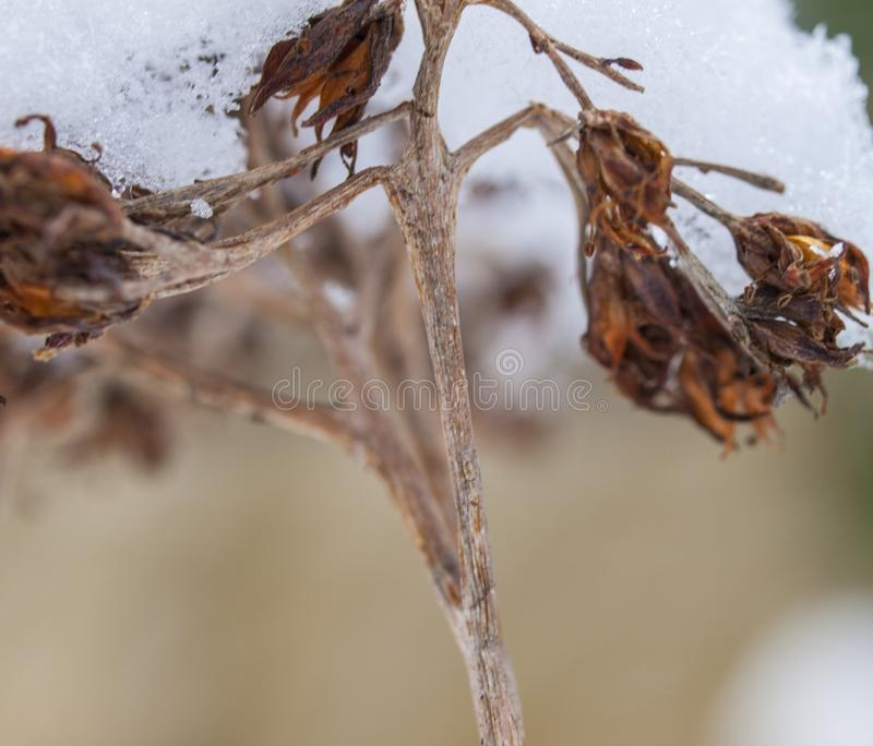 The first snow lies on a dried flower branch stock photos