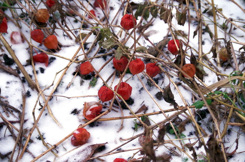 Download First snow stock photo. Image of nature, first, flowers - 83710116