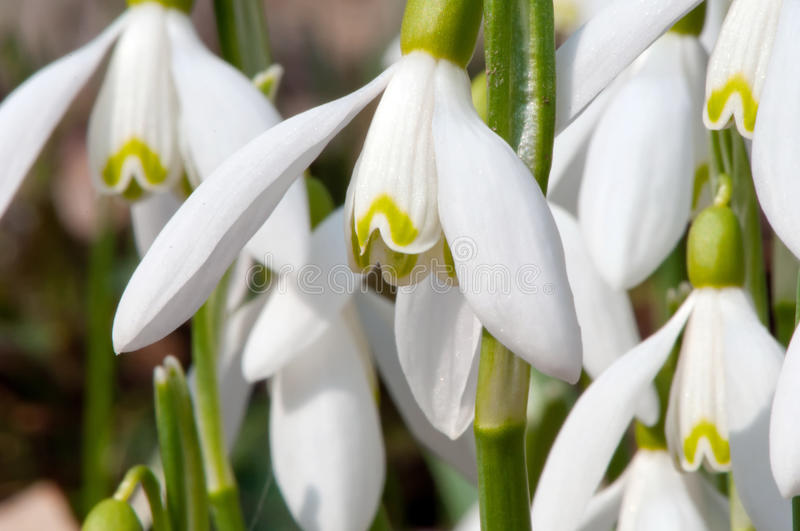 Download First Snowdrops stock photo. Image of clump, first, drops - 18959612