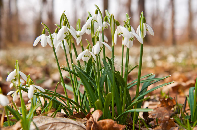 Download First Snowdrops stock image. Image of hang, drop, exterior - 27221419