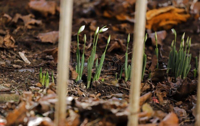 First snowdrops. Snowdrop flowers pattern.  stock photo