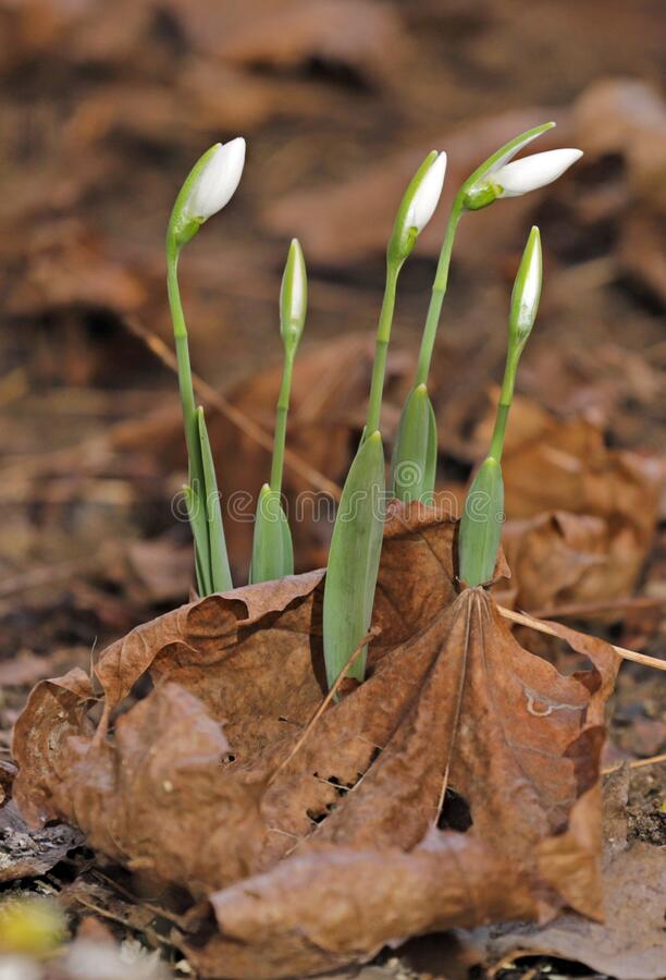 First snowdrops. Snowdrop flowers pattern.  royalty free stock images