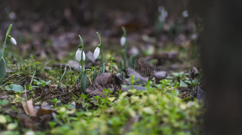 First snowdrops spring flowers in garden. selective focus royalty free stock photography