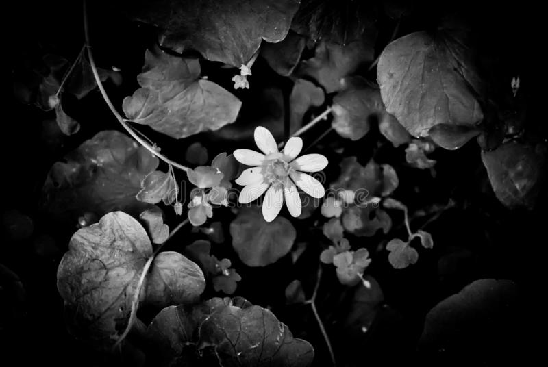 First sprimg flower. Black-and-white. A monochrome picture of the first spring blooming stock photo