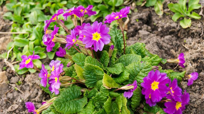 The first spring purple flowers primrose ordinary appeared on the eyes stock photos