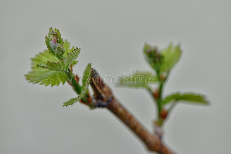 Bud on grapevine royalty free stock photography
