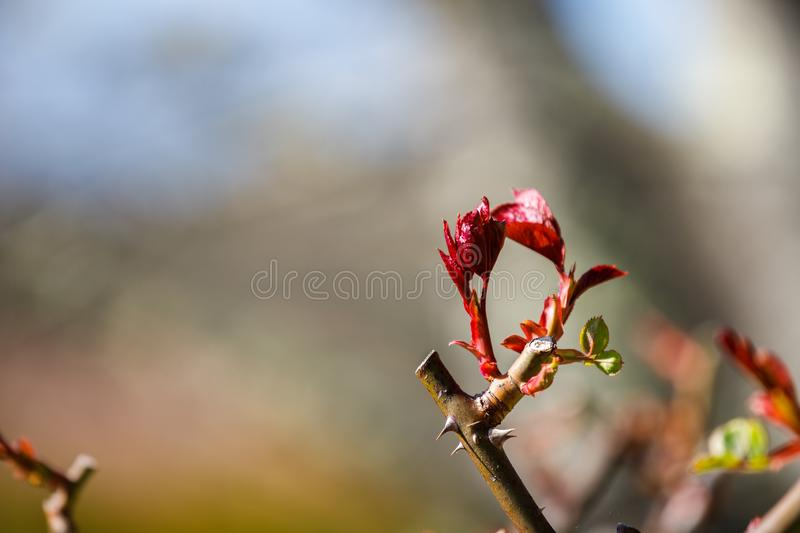 First spring buds of a rose bush stock image