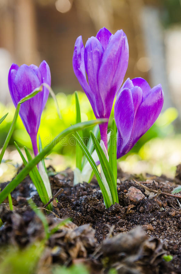 The first spring crocuses royalty free stock image