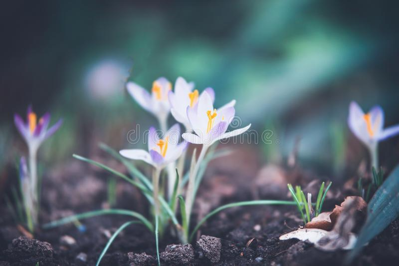 First spring crocuses flowers on garden bed, outdoor nature royalty free stock image