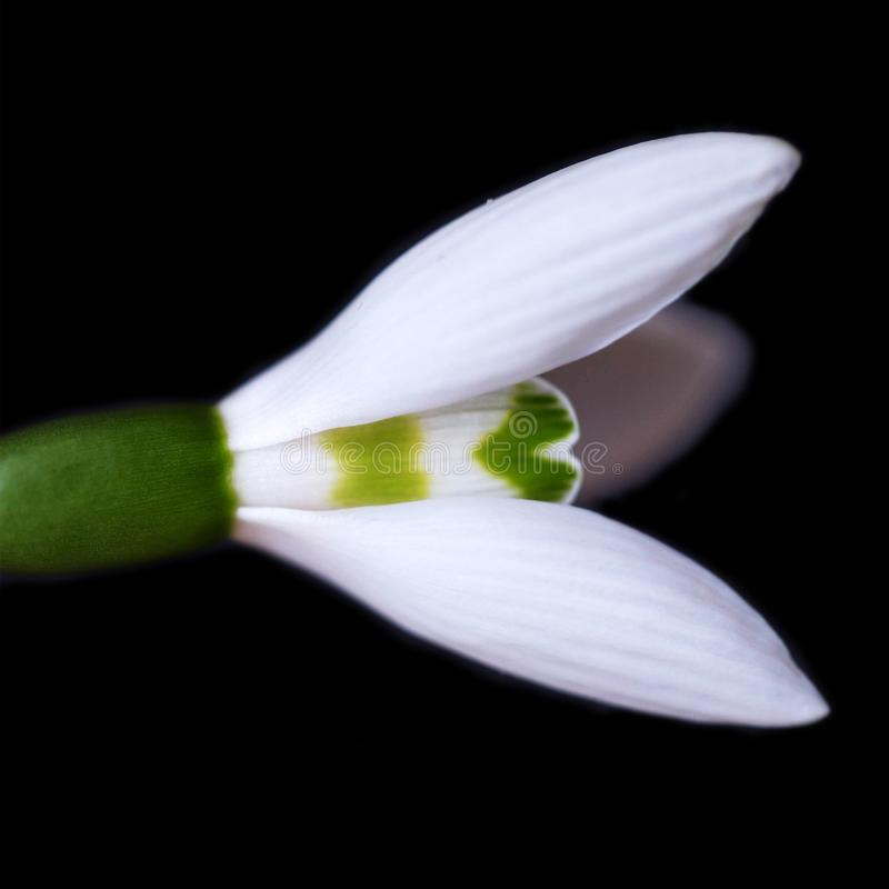 The first spring flower is a snowdrop. Isolated on a black stock image