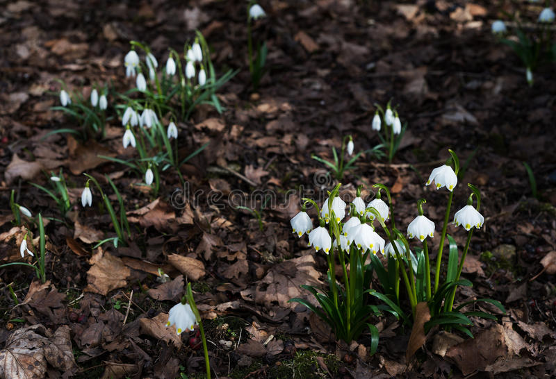 First spring flower white snowdrop and snowflake growing together in forest royalty free stock images
