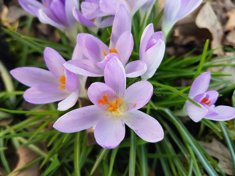 First spring flowers royalty free stock photography