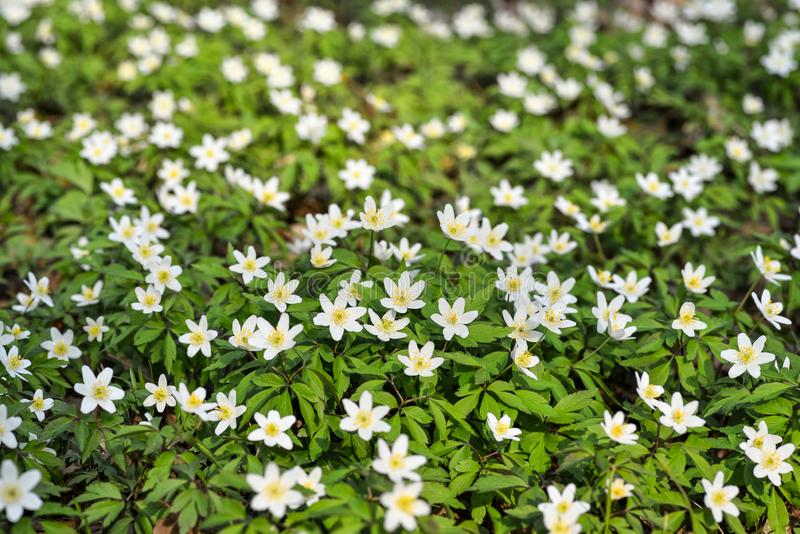 First spring flowers backdround. White spring flowers on meadow in forest stock photography