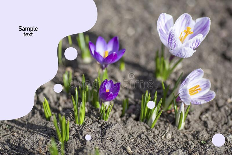 First spring flowers background with place for text royalty free stock image