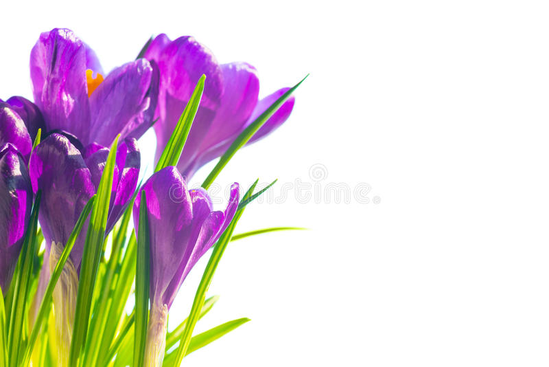 First spring flowers - bouquet of purple crocuses royalty free stock photography