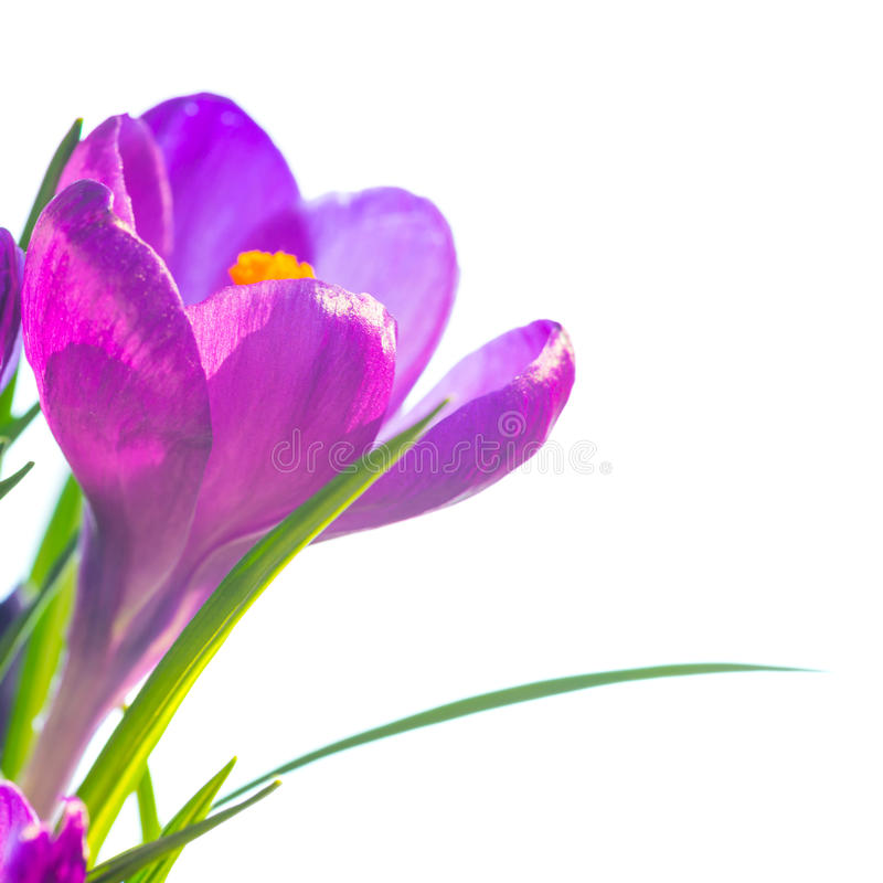 First spring flowers - bouquet of purple crocuses royalty free stock photos