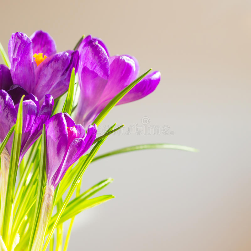 First spring flowers - bouquet of purple crocuses royalty free stock photo