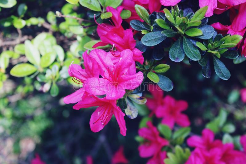 First Spring flowers on a bush royalty free stock photo