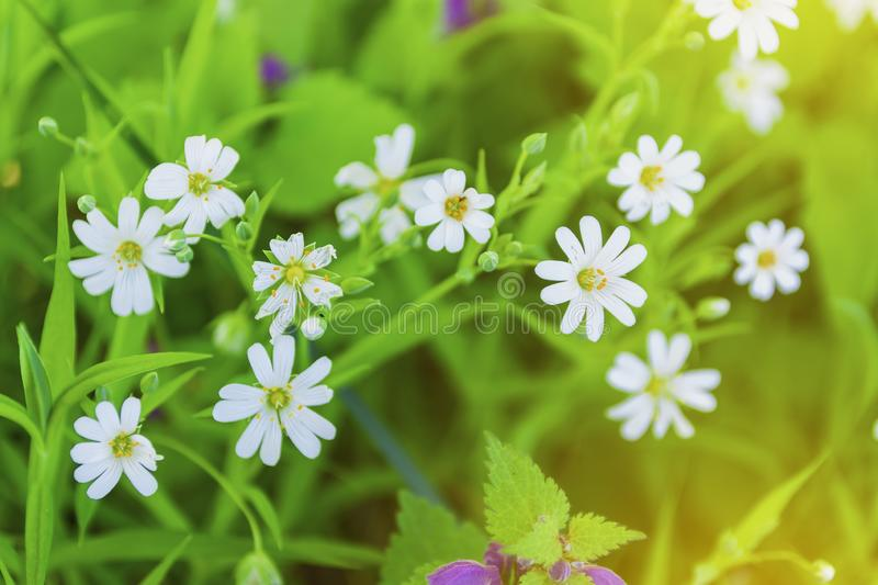 The first spring flowers, close-up in natural conditions. Spring sunny day.  royalty free stock photos