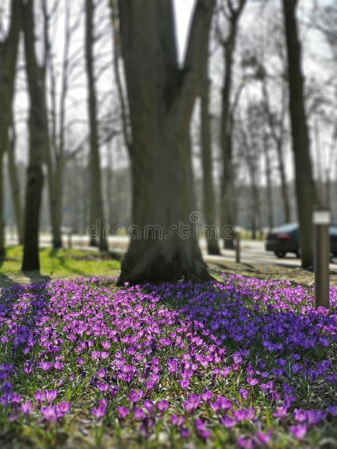 First spring flowers crocus in park lilac and white color on green grass Beautiful Blossom Floral nature background royalty free stock photography