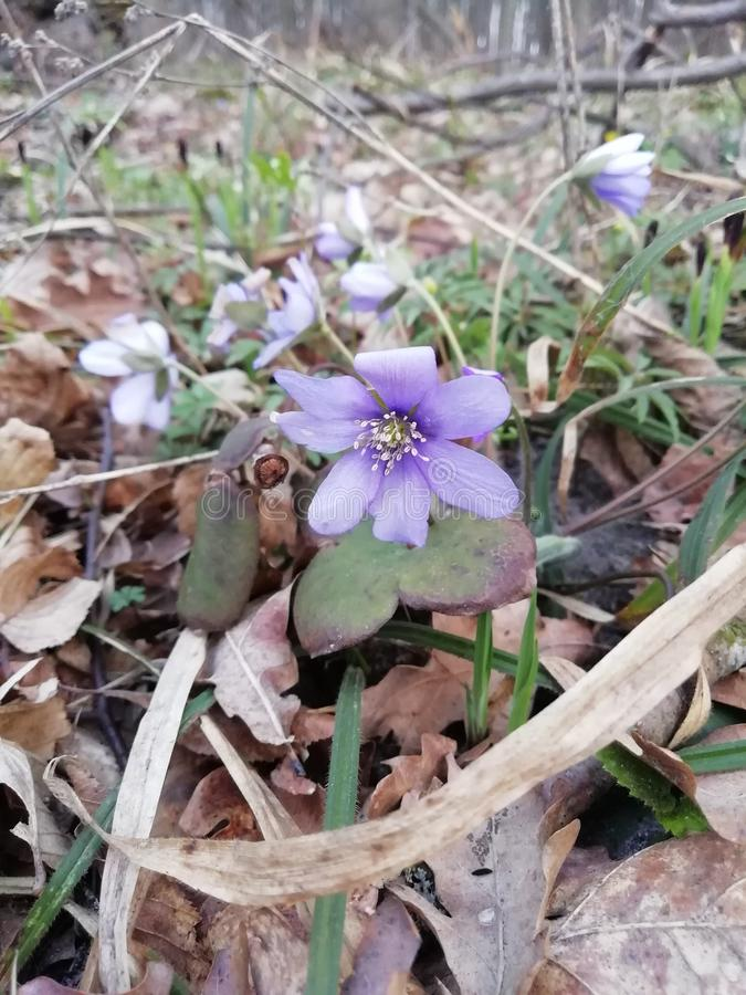 The first spring flowers in the forest. Europe. The first spring flowers in the forest. Europe stock photos