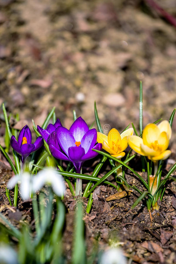 First spring flowers in garden. One of the first spring flowers in garden royalty free stock photography