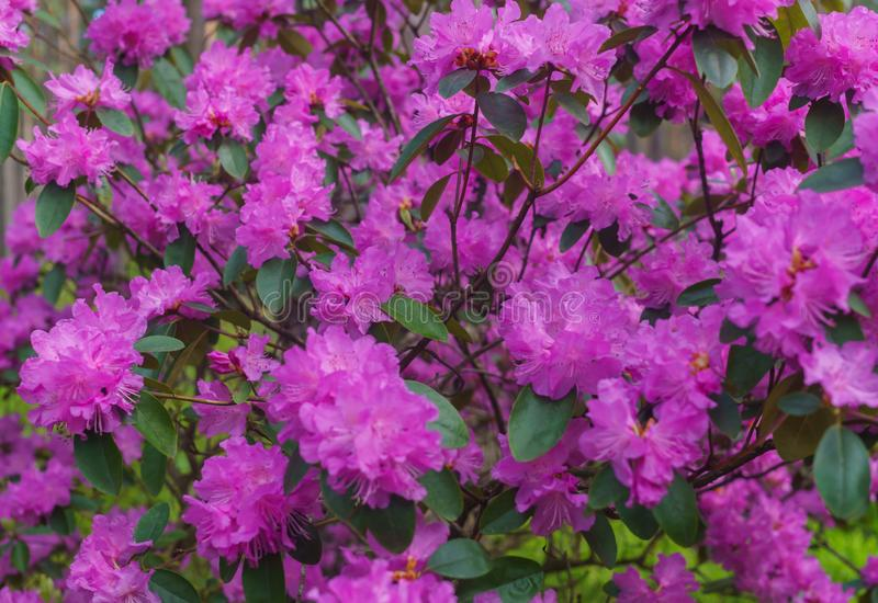 The first spring flowers of lilac rhododendrons. Early spring.  stock image