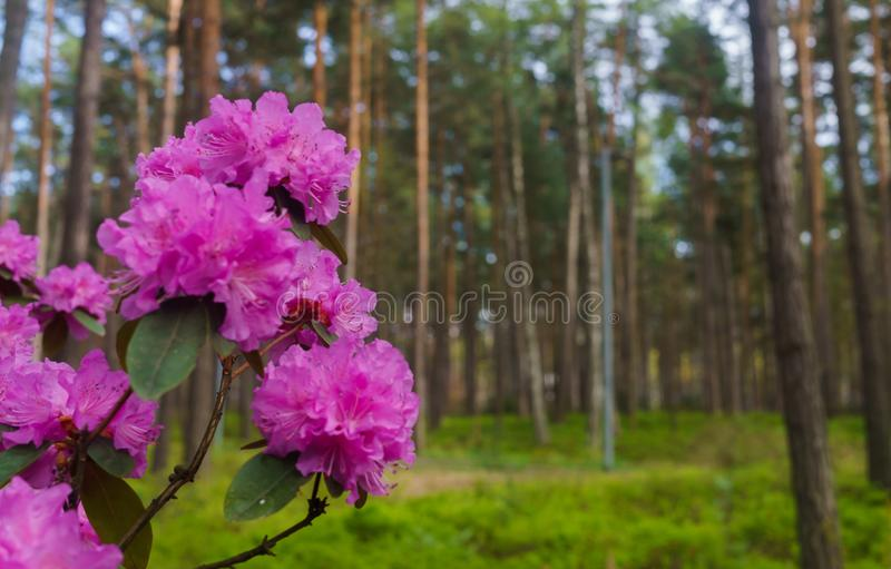 The first spring flowers of lilac rhododendrons. Early spring.  stock photography