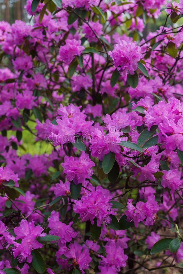 The first spring flowers of lilac rhododendrons. Early spring.  royalty free stock image